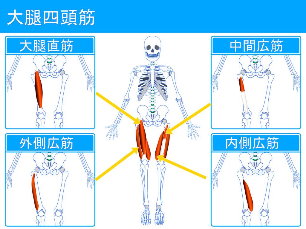 大腿四頭筋の図